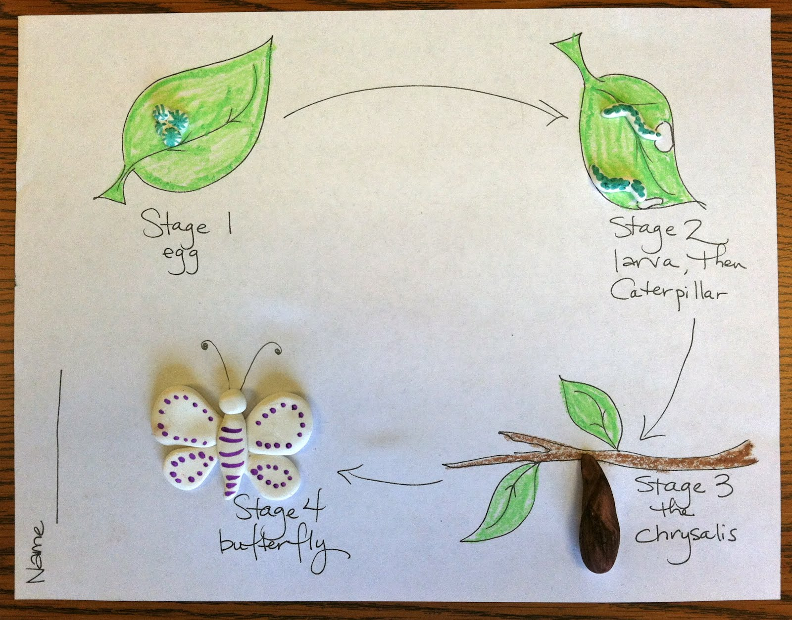 Owl butterfly life cycle - photo#6