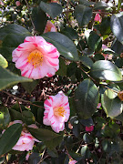 Camellias in Bloom - Wingate, NC, March 2015