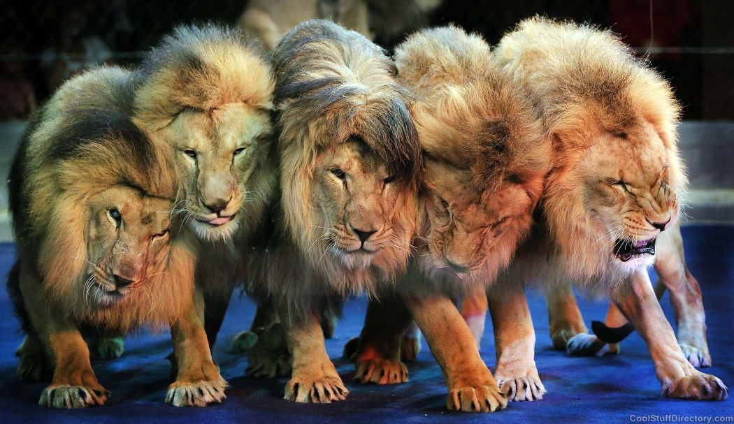 Lions serve in the National Circus of Ukraine