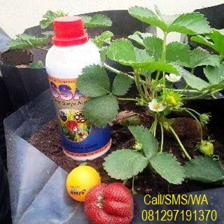 Testimoni Pupuk Organik Cair SSA Untuk Tanaman Strawberry
