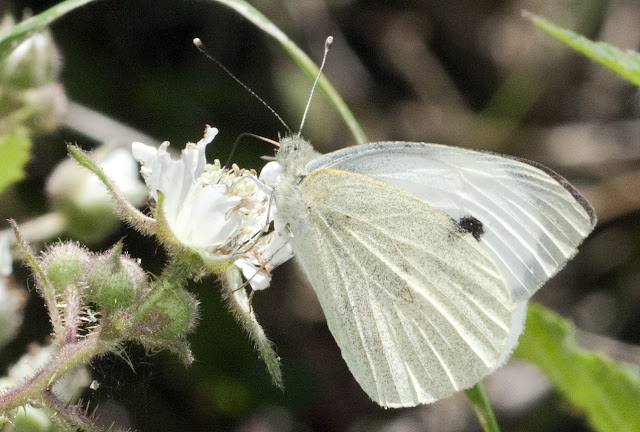 Cabbage white butterfly, Pieris brassicae, sometimes called the Large White, feeding on bramble flowers in the lower edge of the woods in Spring Park, 25 May 2011.