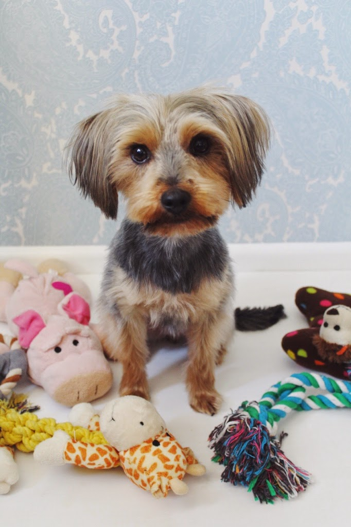 pets, dog, animals, daisy, animalcare, petcare, yorkshireterrier