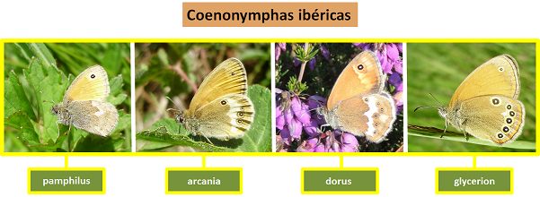 Coenonymphas