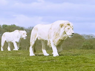 White Lion Wallpaper