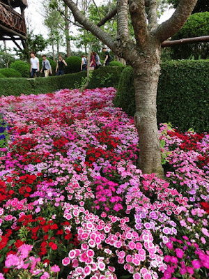 Sea of flowers at Xinshe Castle, Taichung