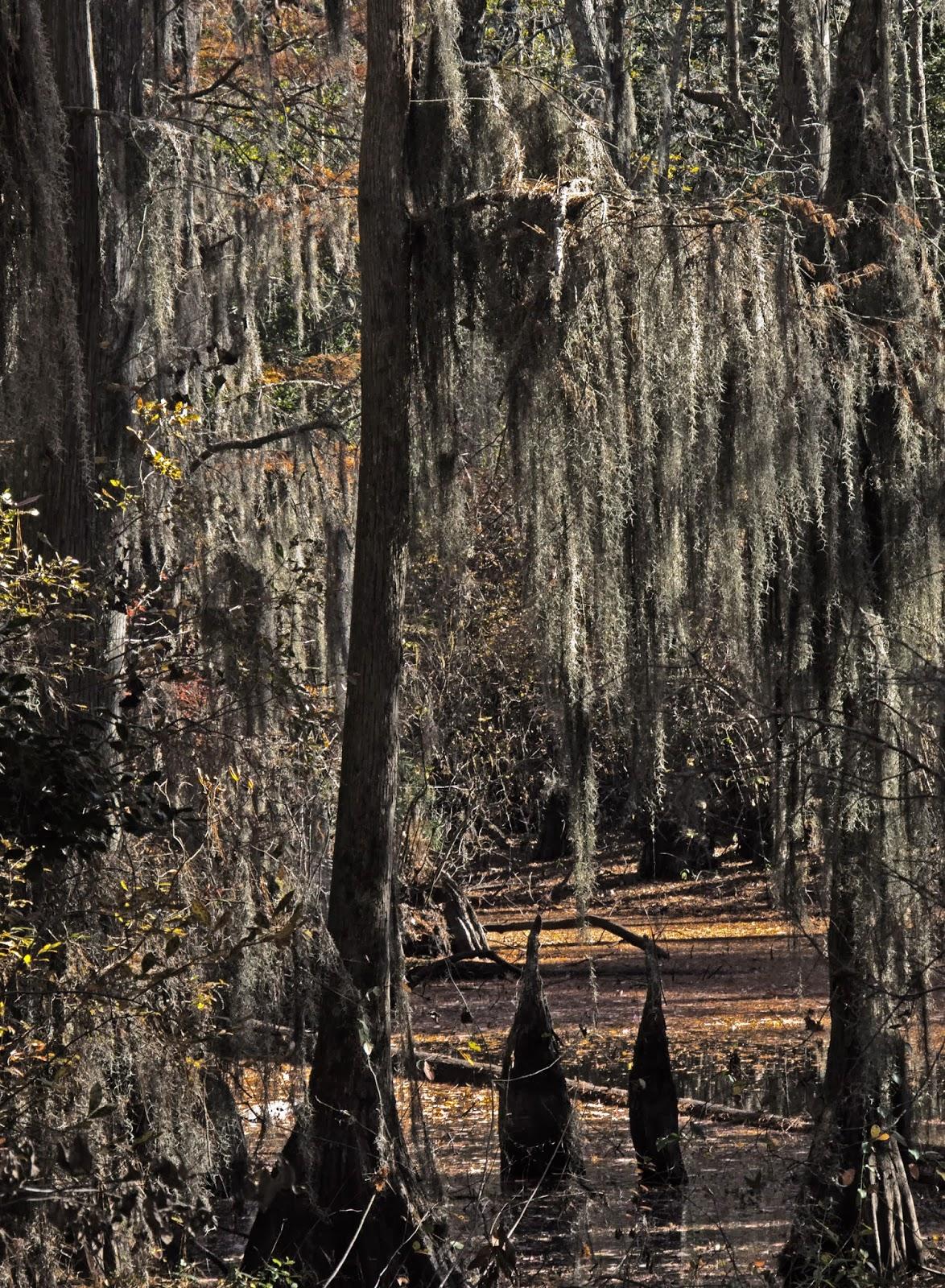 Spanish Moss In Cypress Swamp