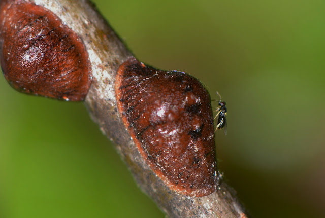 parasitoid wasp on oak lecanium scale insect
