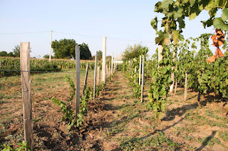 Új olaszrizling telepítés a pázmándi szőlőhegyen