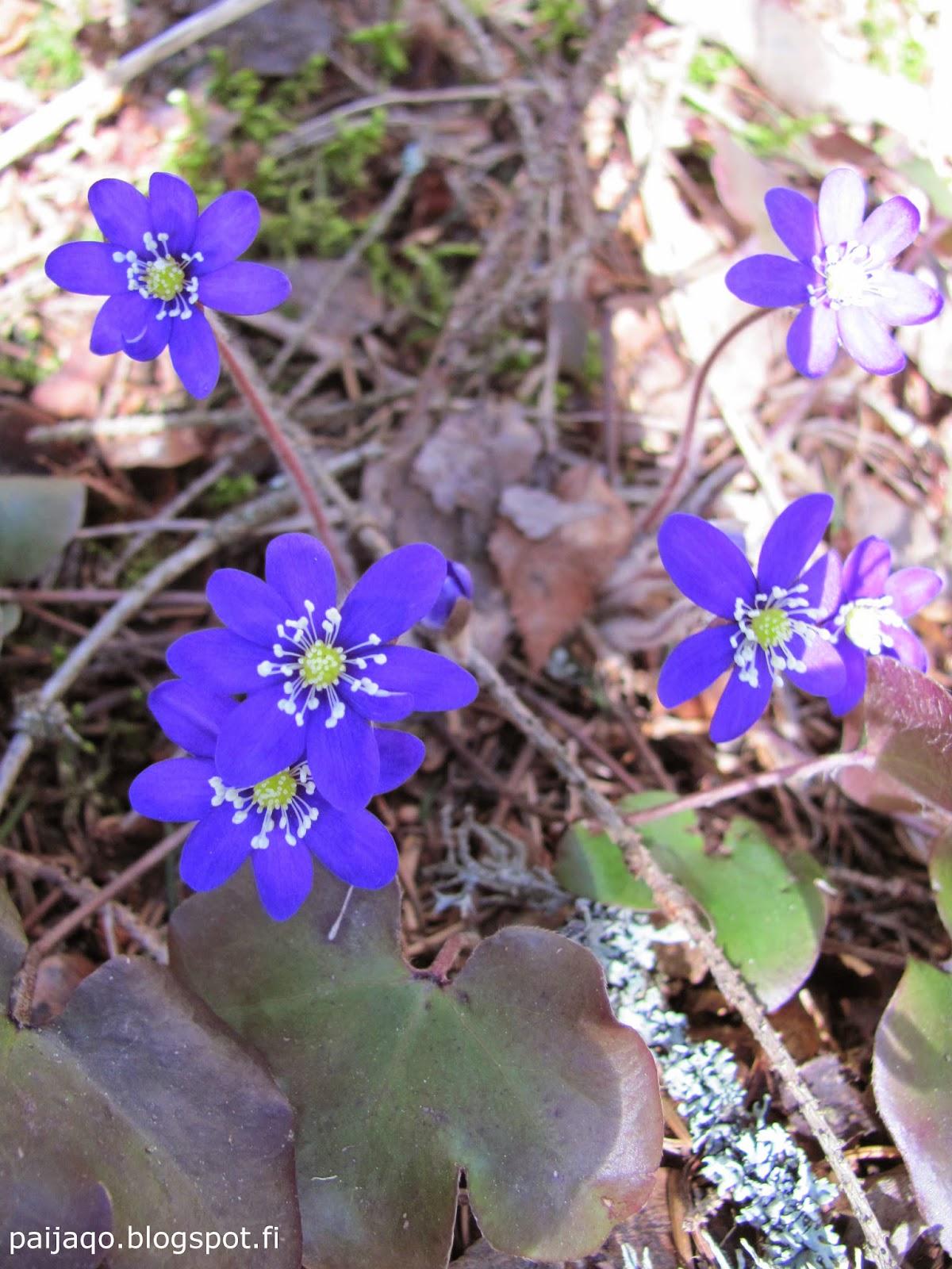 sinivuokot mökkipihalla