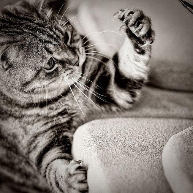 когти у кота