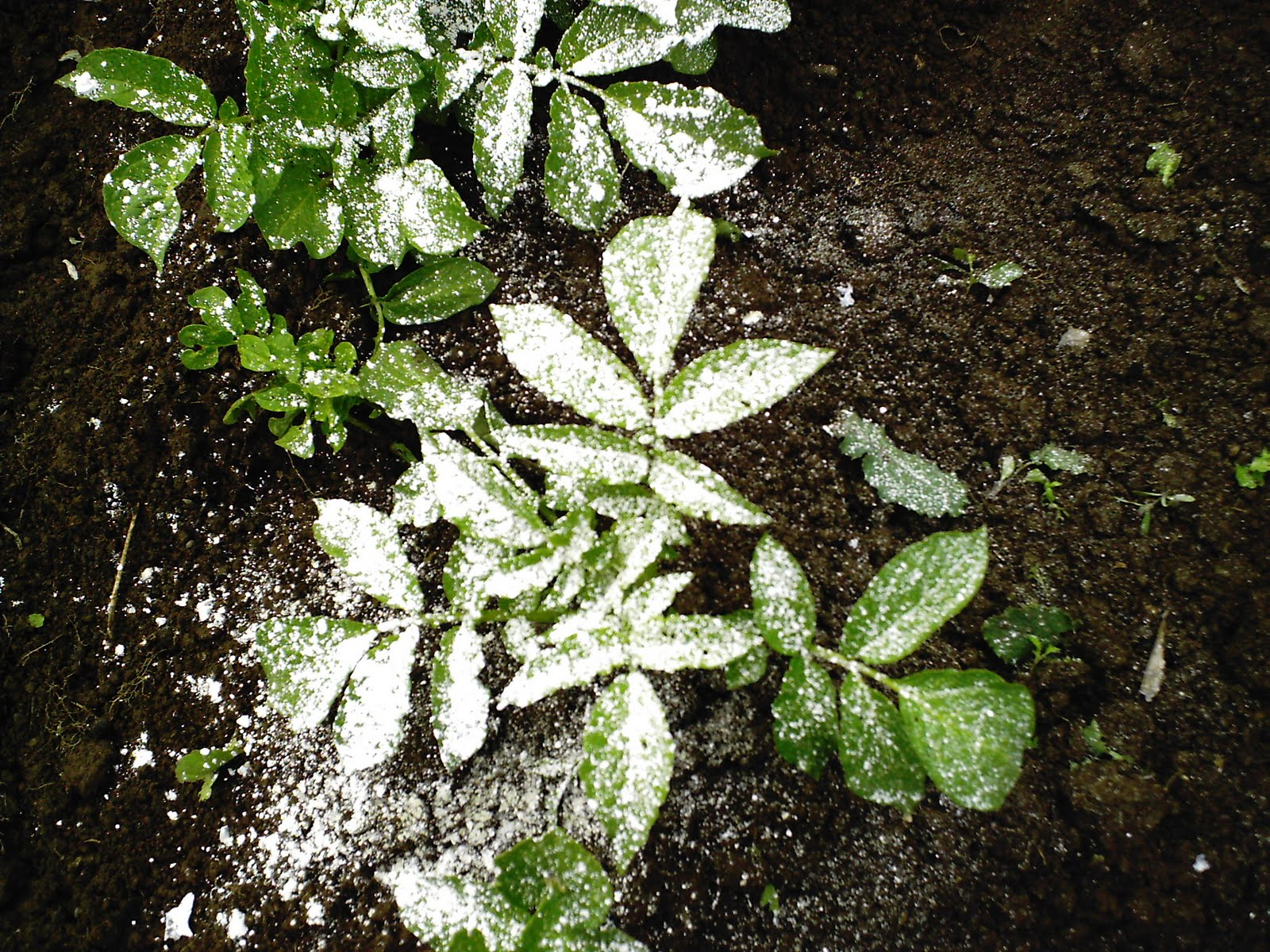 Temperate climate permaculture organic pest controls - How to use diatomaceous earth in the garden ...