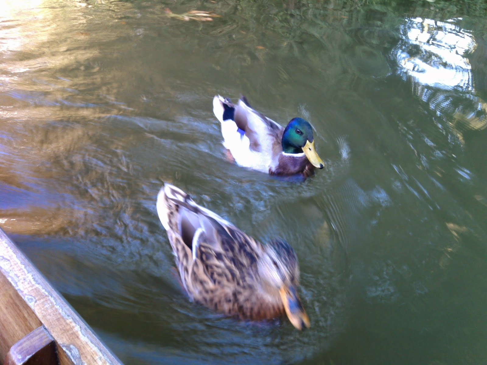 ducks by boat punting in oxford