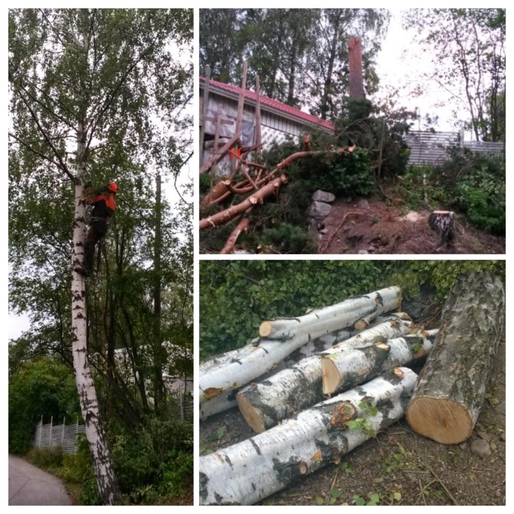 Metsuri kaataa puita tontilla