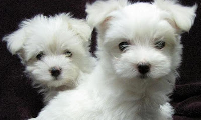 Cute Little Maltese Puppies and Dogs
