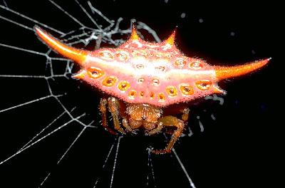 Laba-laba Madagascar-jenis hewan langka.jpg
