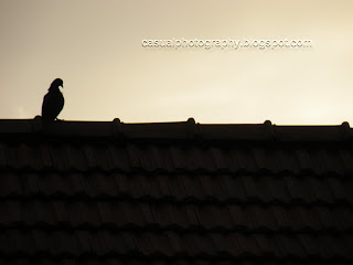 Pigeon - Silhouette - Karaikudi
