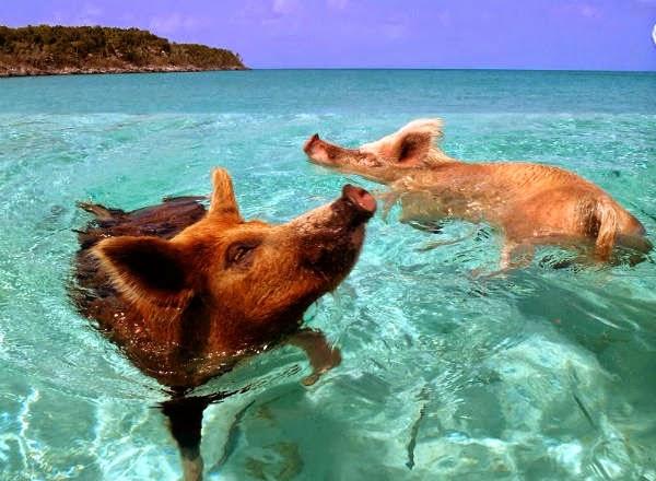 playa de los cerdos