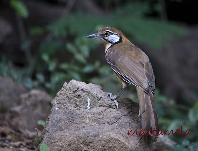Kaeng Krachan, Greater Necklaced Laughingthrush