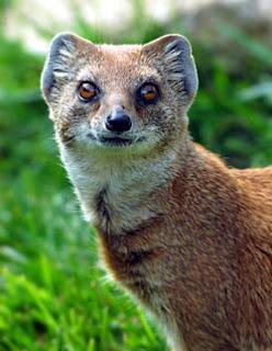 mongoose mammal