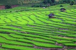 Thailand Rice crops