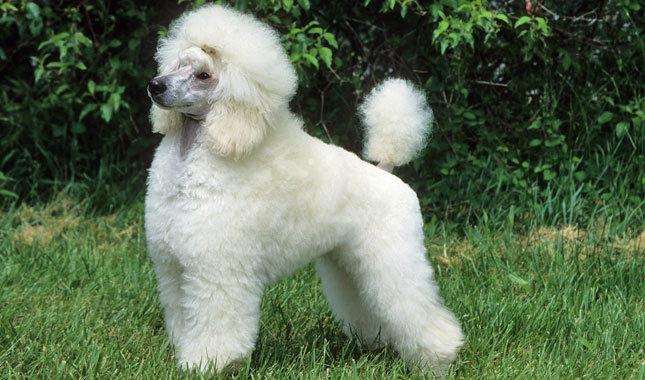 Z Poodles Huxtable The Poodle | ...