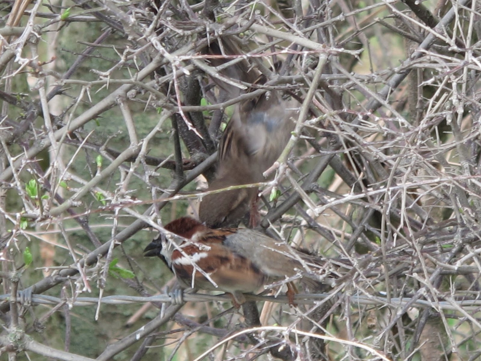 The Rattling Crow: House Sparrow communal courtship - photo#2