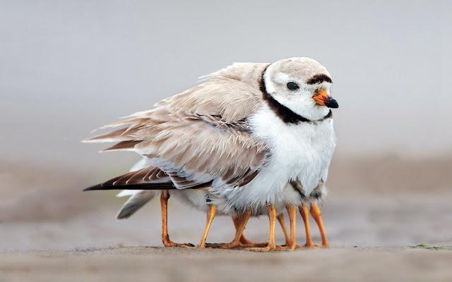 Aves Pequeñas, Pichones y Polluelos
