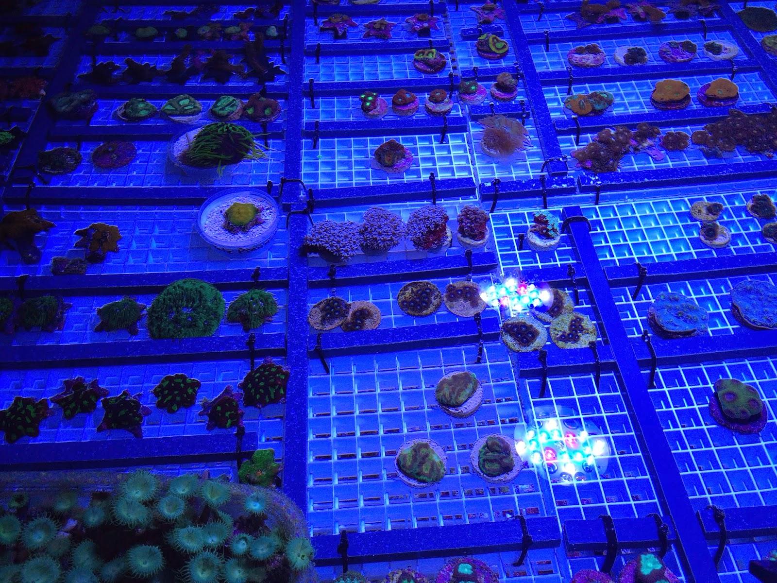 coral frags under LED