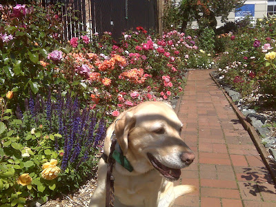 yellow Lab in rose garden