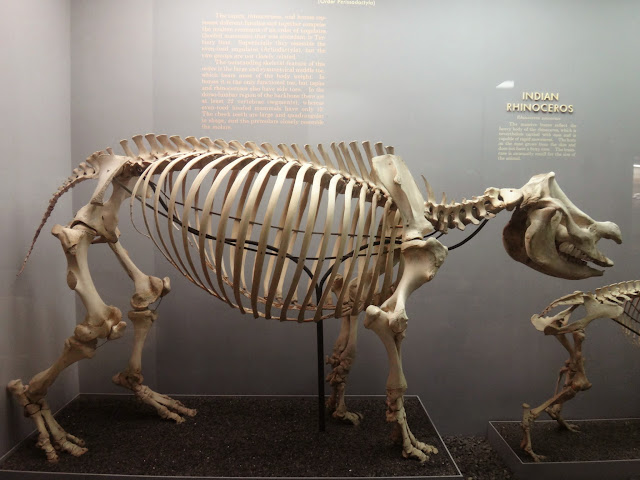 Rhinoseros skeleton at National History Museum in Washington DC, USA