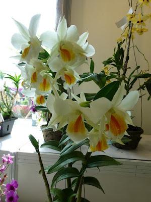daffodil-orchids