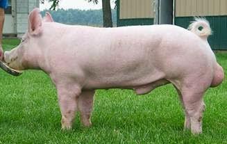 Lợn Yorkshire