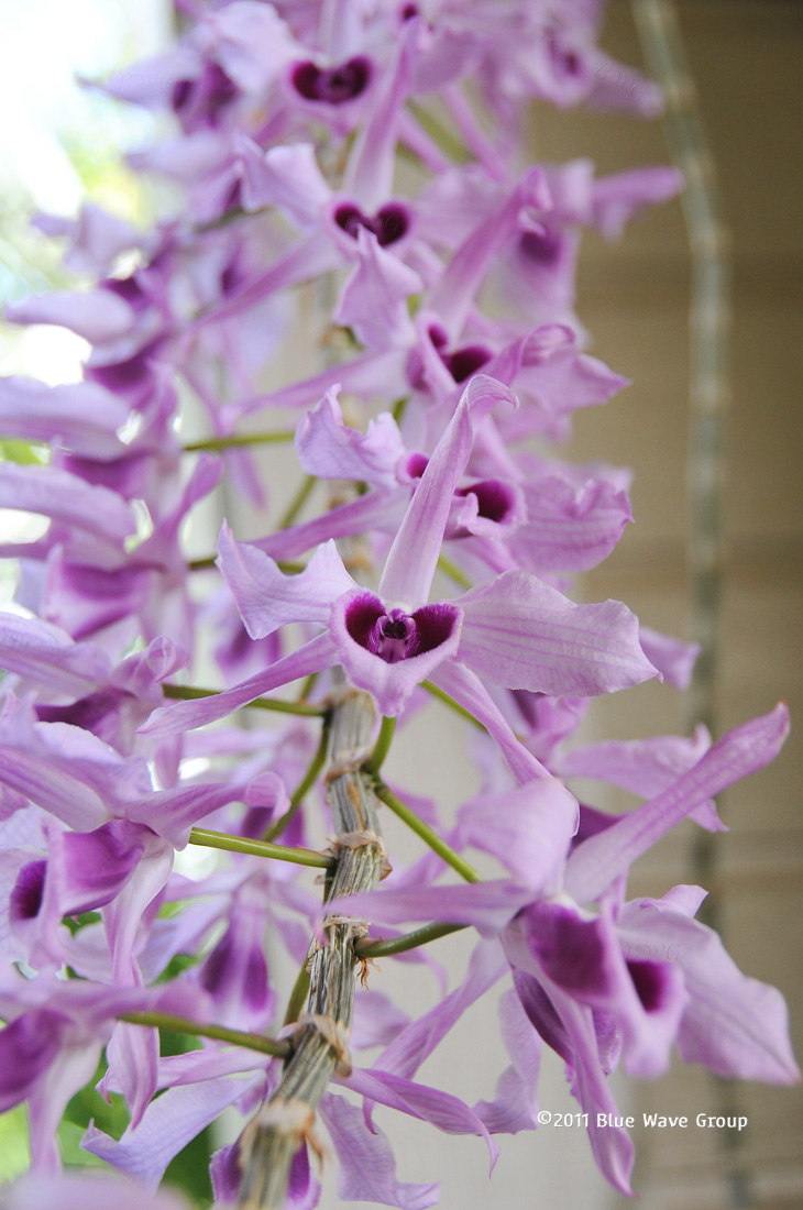 Honohono Orchid