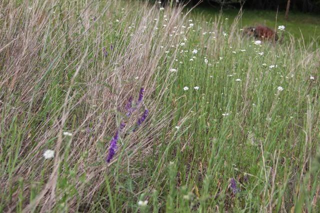 boneset (white flowers): medicinal uses?