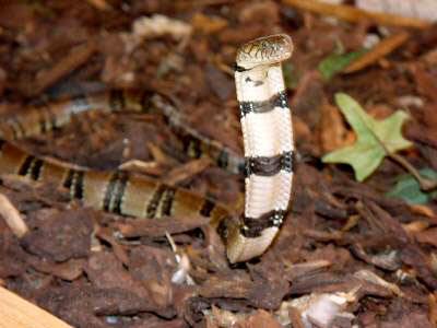 King Cobra Snake Hood Different Types ...
