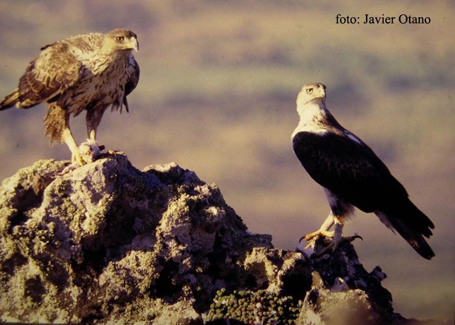 Entorno, observación de aves: Aguila Perdicera