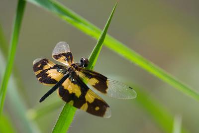 Variegated Flutterer (female) - Thalangama, Sri Lanka