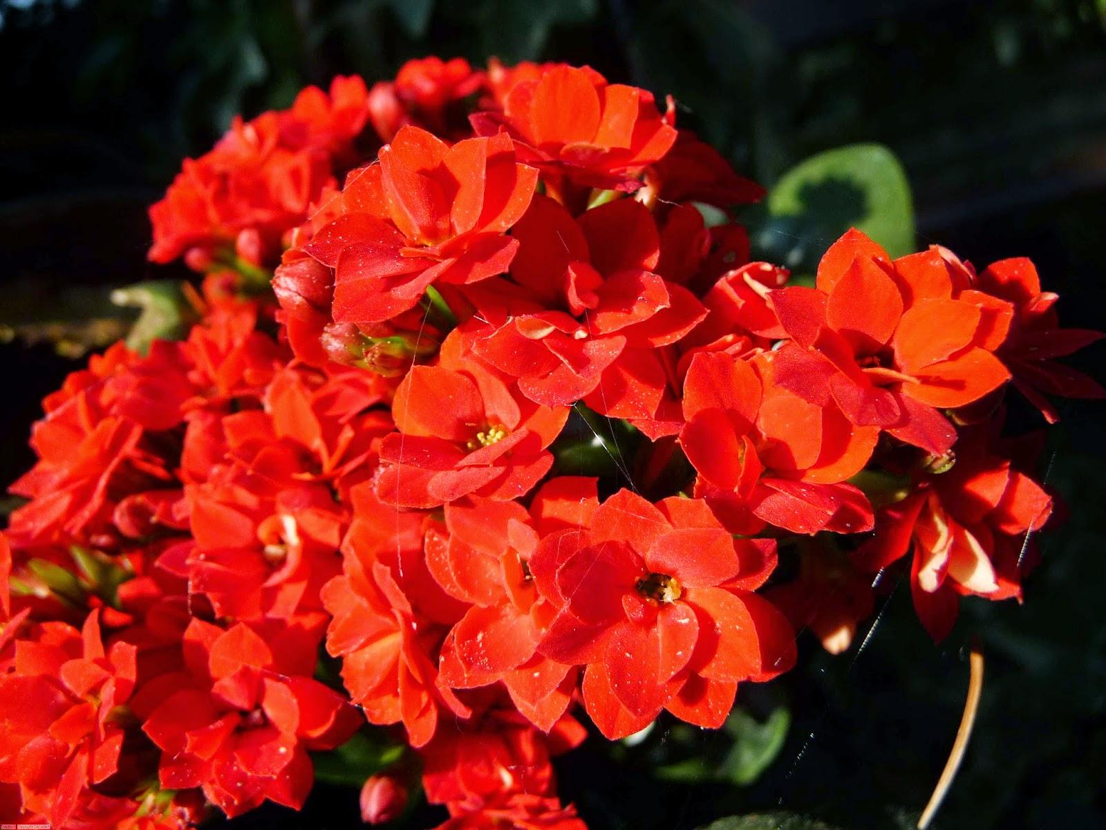 أجمل صور الزهور الحمراء