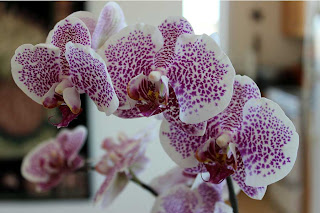 A close-up of my beautiful birthday orchid.