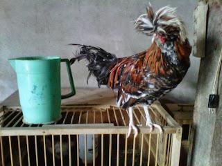 jual indukan ayam poland atau ayam mahkota