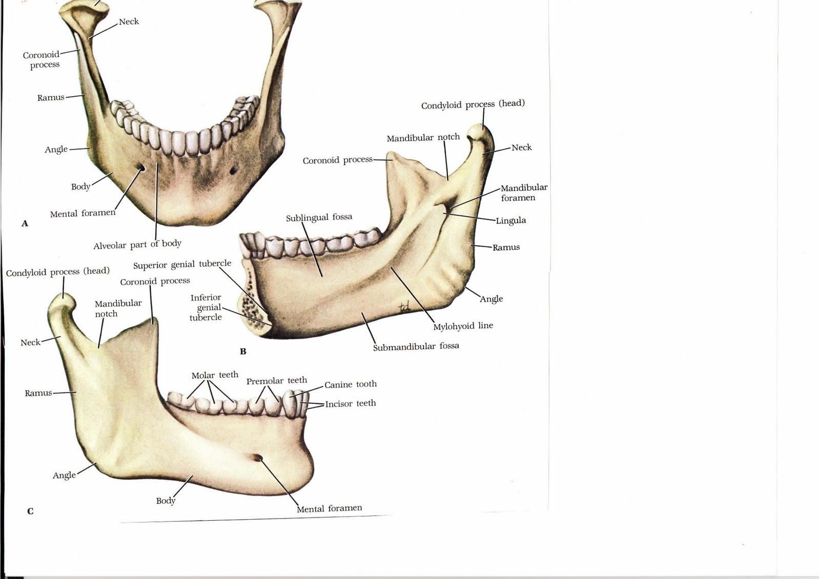 Maxillary Jaw Images - Reverse Search