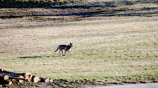nesodd-ulven har fått kjæreste