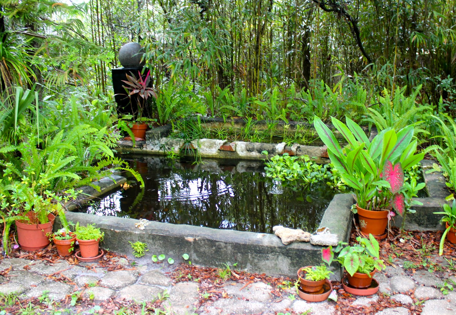 Tropical rains return to florida phillip 39 s natural world for Natural koi pond
