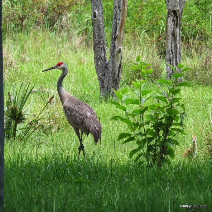 sandhill single parents En route, more than three-fourths of all sandhill cranes use migratory staging areas in a single 75-mile stretch along nebraska's platte river.