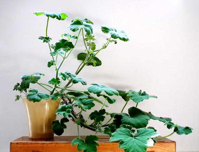 Pelargonium tomentosum - peppermint scented pelargonium