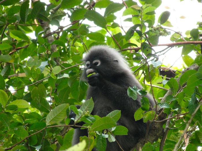dusky leaf monkey sitting in tree eating leaves