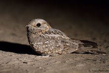 Nubian Nightjar, Neot Hakikar, June 2012