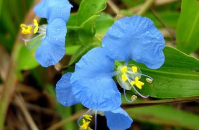 Flor azul do Cerrado - Trapoeraba-azul - erva-de-santa-luzia- foto de jcpat100