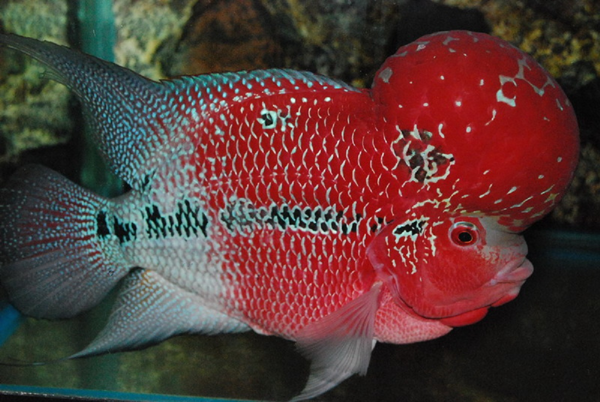 Flowerhorn The Hybrid Cichlids: Louhan Red Dragon