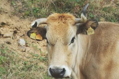 Asturias, vaca al borde del sendero